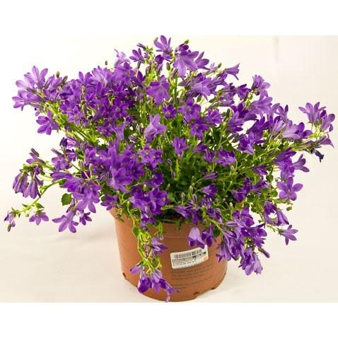 Горшечные цветы - Кампанула - цветы ...: flowergallery.fo.ru/shop/28750_Горшечные+цветы/30632...